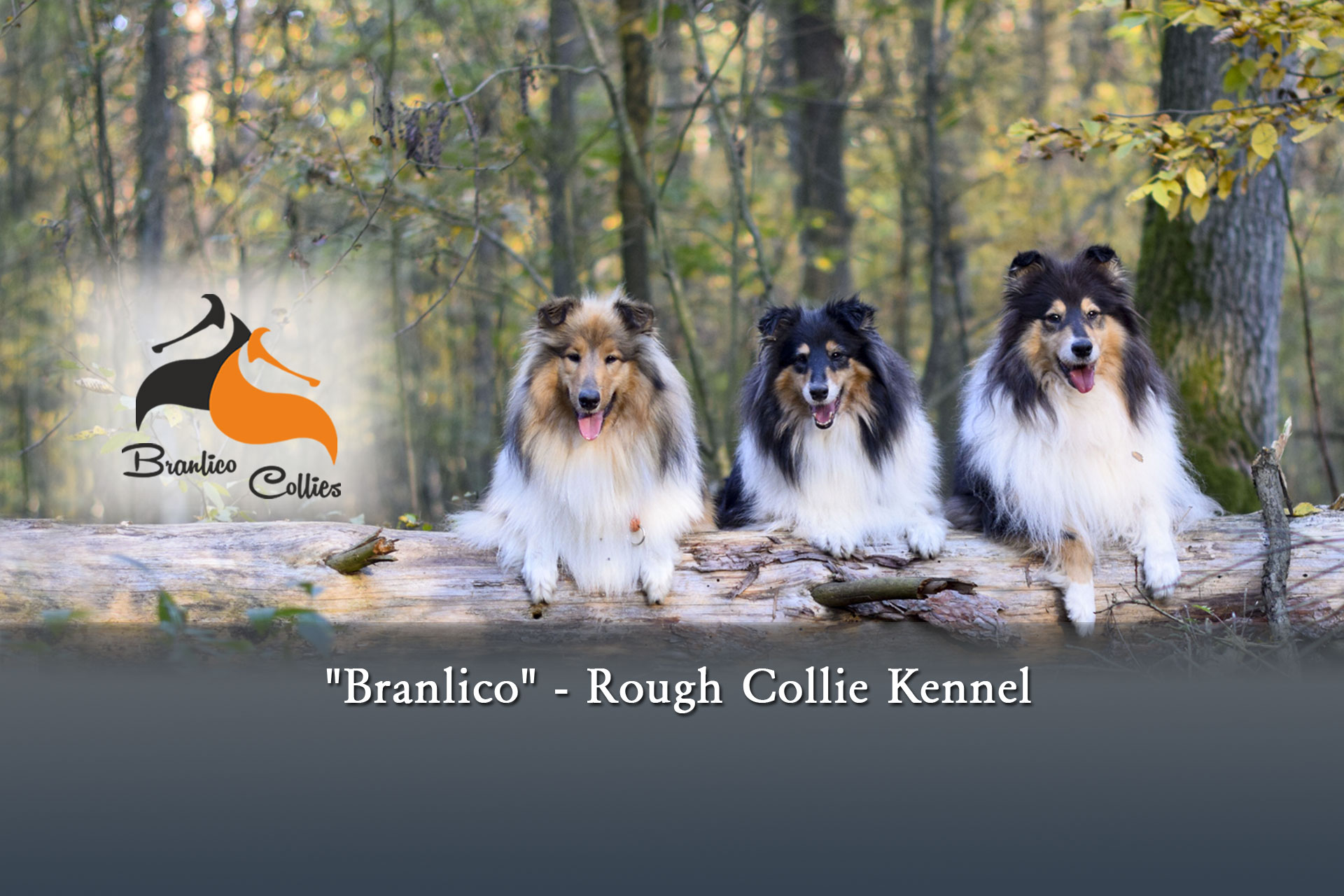branlico collie kennel
